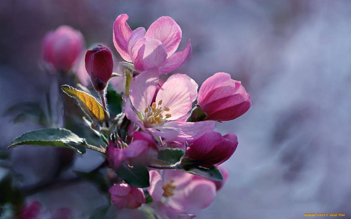 цветы, цветущие деревья ,  кустарники, бутоны, яблоня, весна, макро, ветка, боке